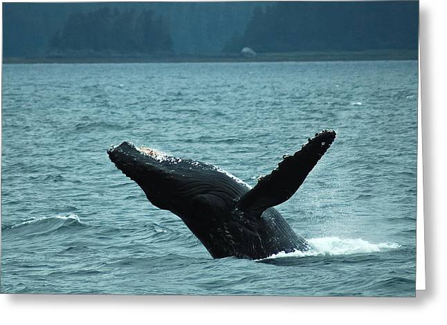 Humpback Breaching Greeting Card by Harry Spitz