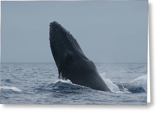 Humpback Whale Breaching Greeting Card by Gary Crockett