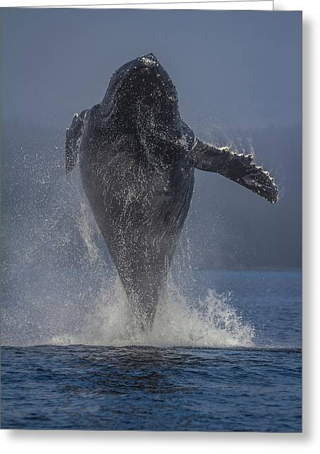 Humpback Whale Breaching In Chatham Strait Greeting Card by Wild Montana Images