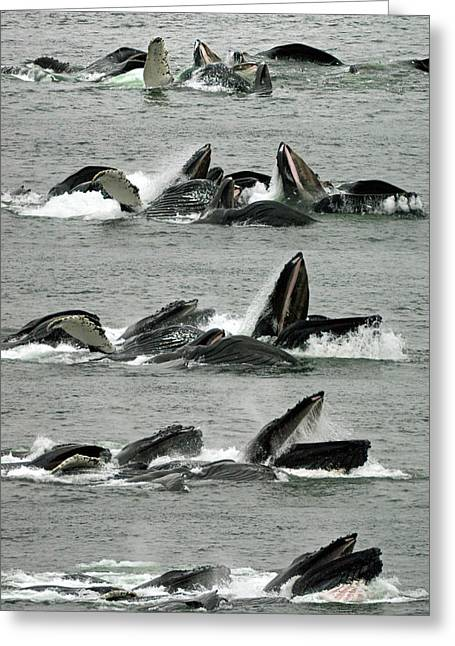 Humpback Whale Bubble-net Feeding Sequence X5 V1 Greeting Card