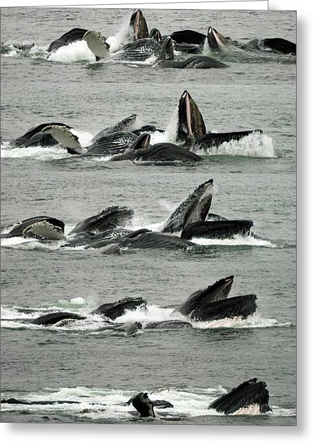 Humpback Whale Bubble-net Feeding Sequence X5 V2 Greeting Card