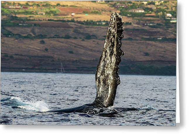 Humpback Whale Fin  Greeting Card by Puget Exposure