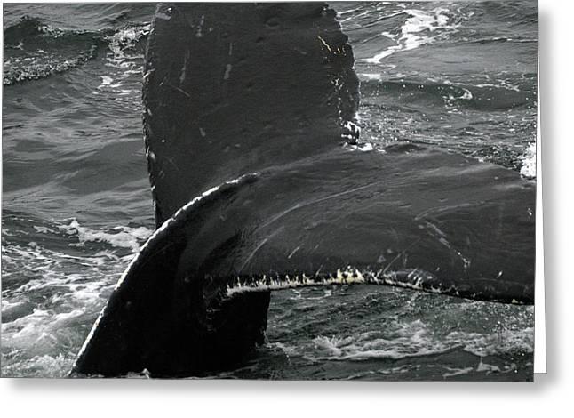 Humpback Whale Fluke 2 Greeting Card by Robert Shard