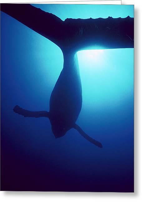 Humpback Whale Megaptera Novaeangliae Greeting Card by Flip Nicklin