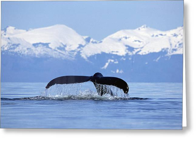 Humpback Whale Megaptera Novaeangliae Greeting Card