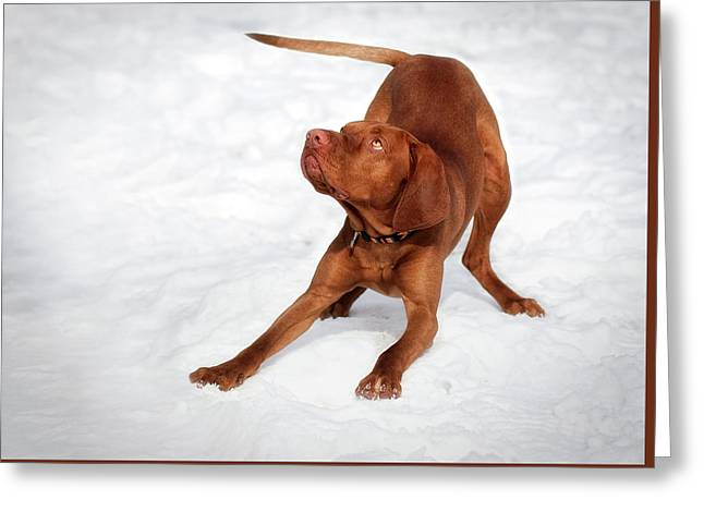 Hungarian Vizsla  Greeting Card