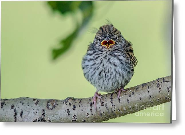 Hungry Baby Bird Greeting Card by Cheryl Baxter