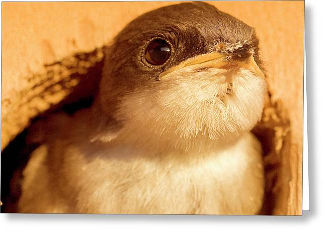 Hungry Baby Swallow Greeting Card