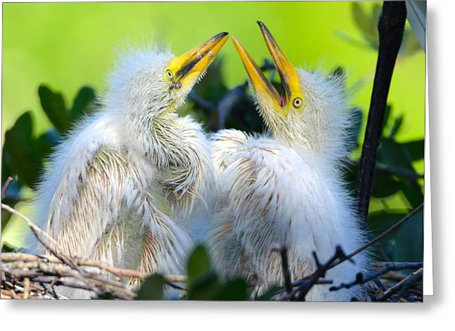 Hungry Egret Chicks Greeting Card