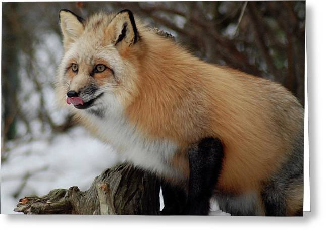Greeting Card featuring the photograph Hungry Fox by Richard Bryce and Family