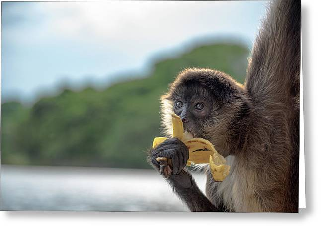 Hungry Monkey Greeting Card by Michael Santos