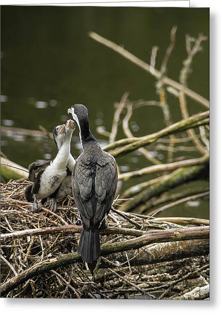 Hungry Pied Shag Chicks Greeting Card