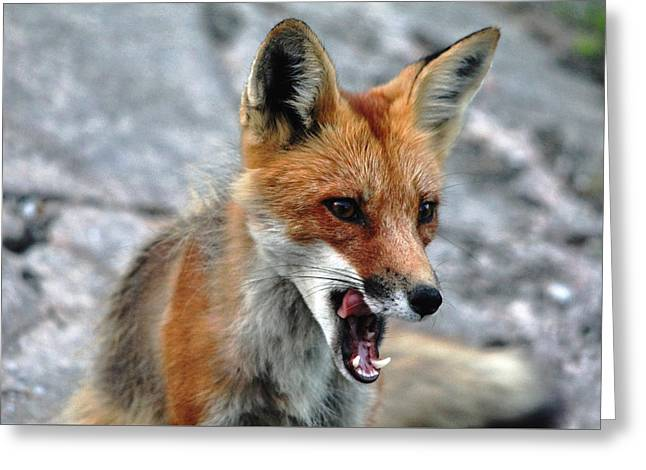 Hungry Red Fox Portrait Greeting Card by Debbie Oppermann