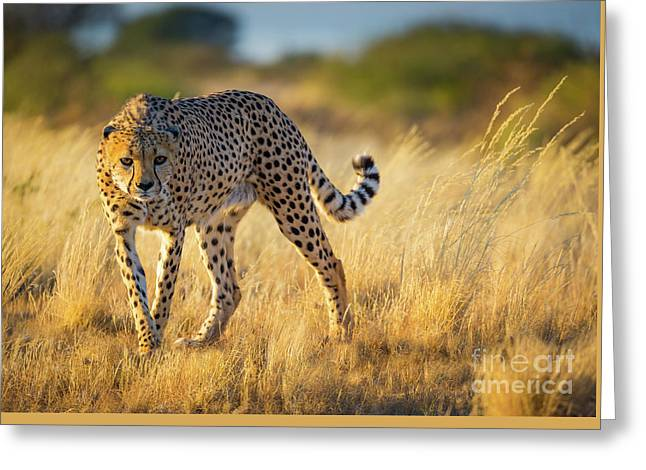 Hunting Cheetah Greeting Card by Inge Johnsson