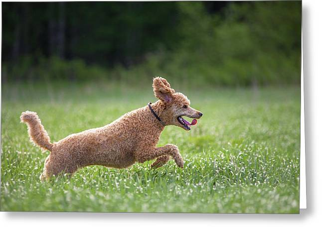 Hunting Dog Greeting Card by Teemu Tretjakov
