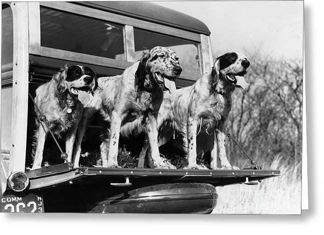 Hunting Dogs On Tailgate, 1939 Greeting Card by H. Armstrong Roberts/ClassicStock