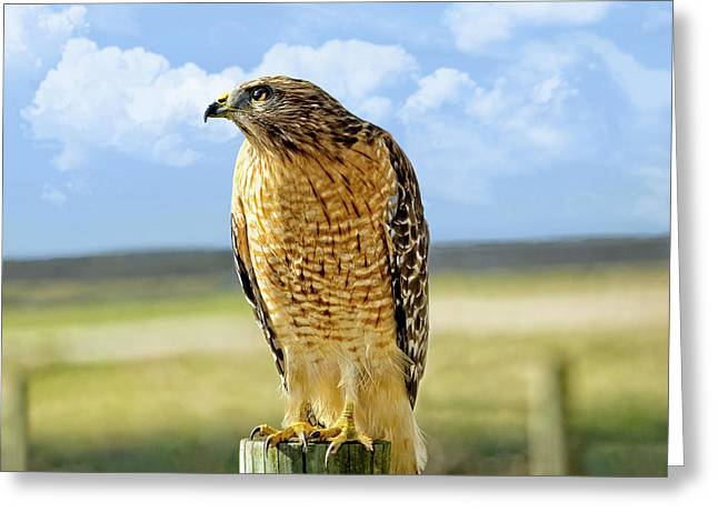 Hunting Hawk Greeting Card