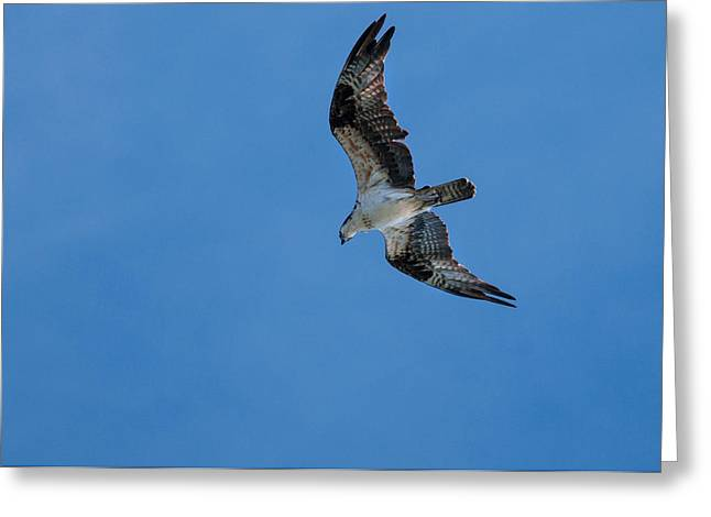 Hunting Osprey Greeting Card