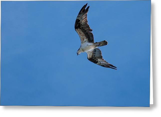 Hunting Osprey Greeting Card