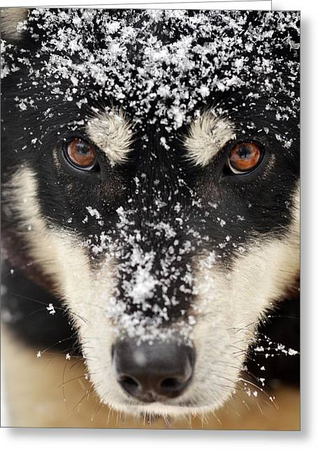 Husky And Snow Close-up Greeting Card