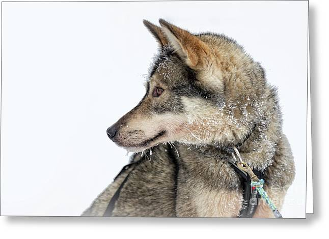 Greeting Card featuring the photograph Husky Dog by Delphimages Photo Creations