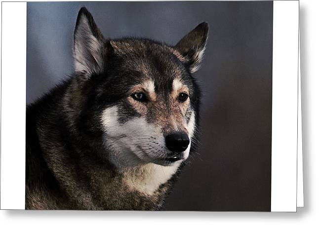Husky Greeting Card by  Newwwman