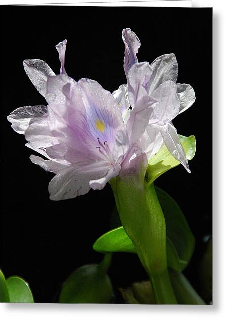 Hyacin Greeting Card by Dan Fulk