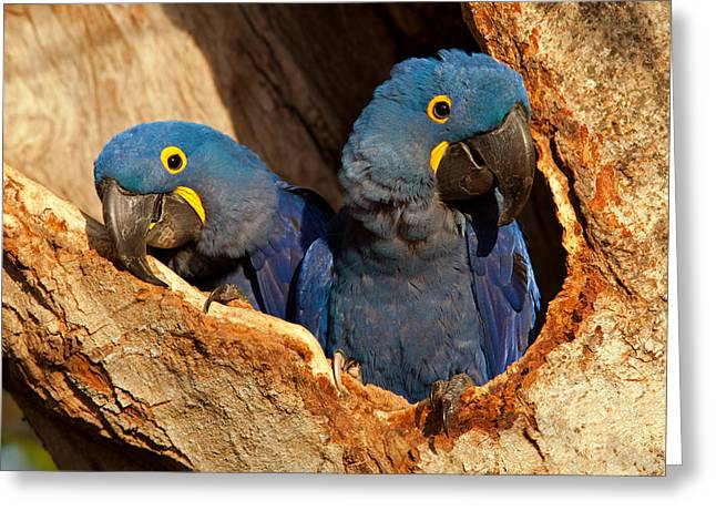 Hyacinth Macaw Pair In Nest Greeting Card