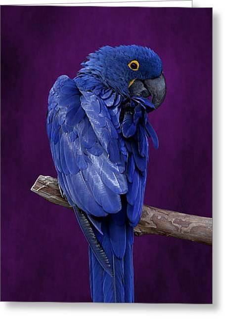 Hyacinth Macaw Panoramic Greeting Card