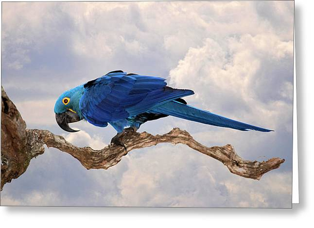 Greeting Card featuring the photograph Hyacinth Macaw by Wade Aiken