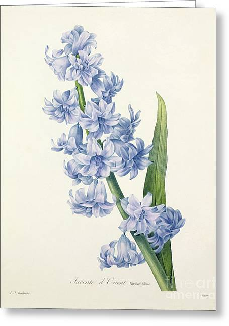 Stems Greeting Cards - Hyacinth Greeting Card by Pierre Joseph Redoute