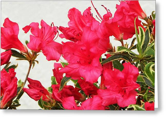 Hybrid Azalea Greeting Card by Cindy Gacha