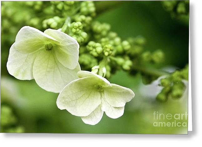 Hydrangea Buds Visit Www.angeliniphoto.com For More Greeting Card by Mary Angelini