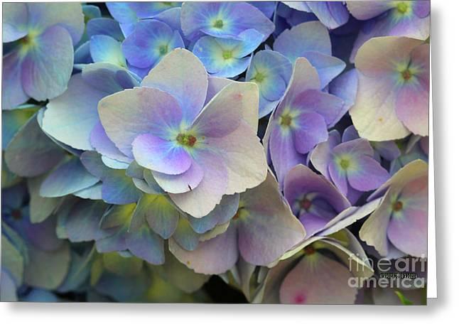 Hydrangea Flower Greeting Card by Corey Ford