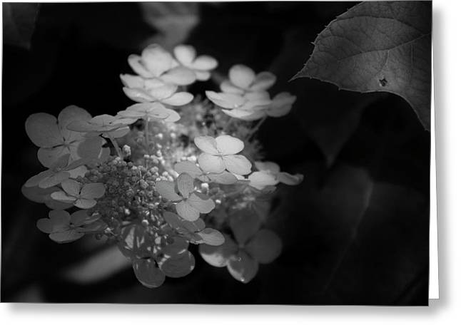 Hydrangea In Black And White Greeting Card by Chrystal Mimbs