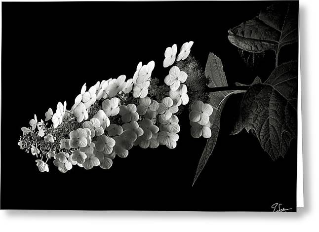 Hydrangea In Black And White Greeting Card by Endre Balogh
