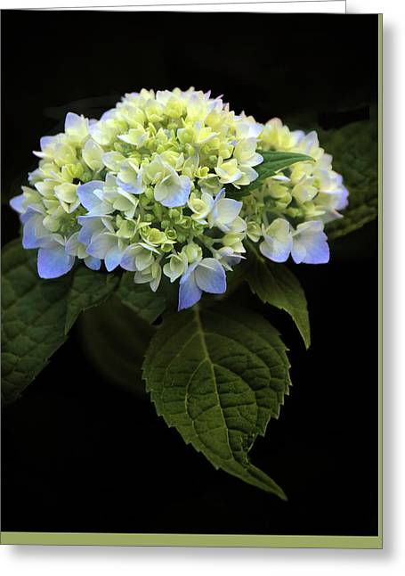 Hydrangea In Bloom Greeting Card