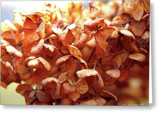 Hydrangea In Sunlight Greeting Card