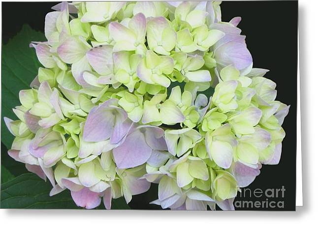 Hydrangea Greeting Card by Linda Vespasian