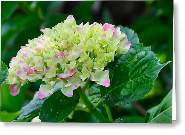 Hydrangea Greeting Card by Lori Kesten