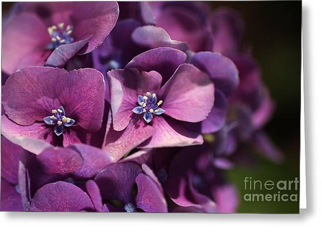 Hydrangea Passion  Greeting Card