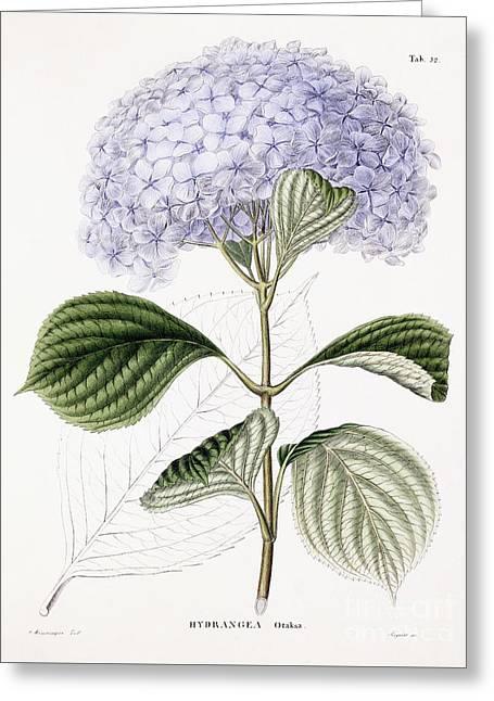 Hydrangea Greeting Card by Sebastian Minsinger