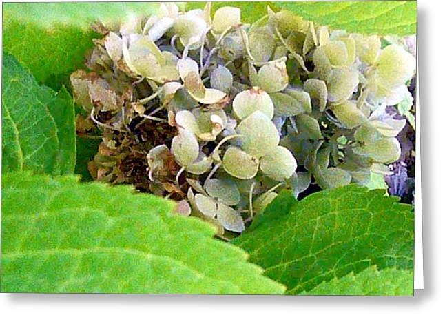 Hydrangea Surrounded Greeting Card by Connie Young
