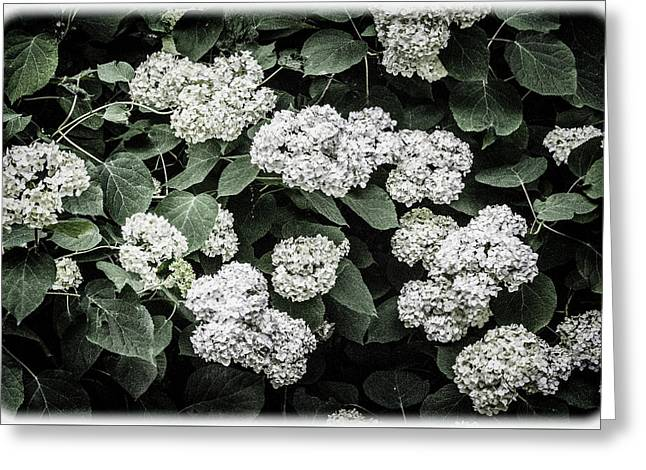 Hydrangeas - Annabelle Snowball Old-fashioned Hydrangeas Greeting Card by Mother Nature