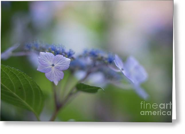 Hydrangeas Dream Greeting Card by Mike Reid