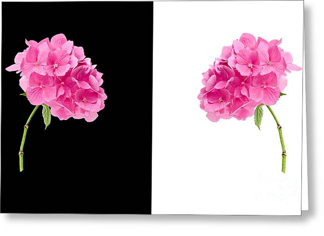 Hydrangeas On Black And White Greeting Card by Meirion Matthias