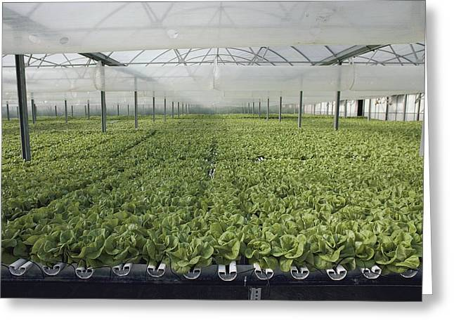 Farmers And Farming Greeting Cards - Hydroponic Lettuce Is Grown In An Acre Greeting Card by Joseph H. Bailey