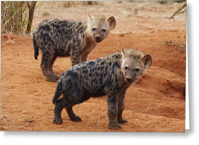 Greeting Card featuring the photograph Hyena Babies by Phil Stone