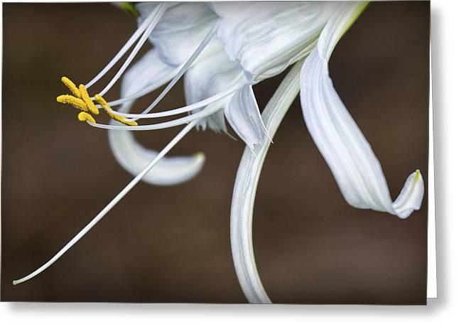 Hymenocallis Narcissiflora Greeting Card