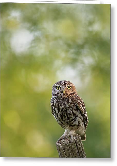 I C U - Little Owl Watching The Photographer Greeting Card